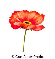 California poppy Clipart and Stock Illustrations. 17 California.
