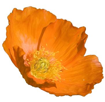 Clip Art Orange Poppies Clipart.