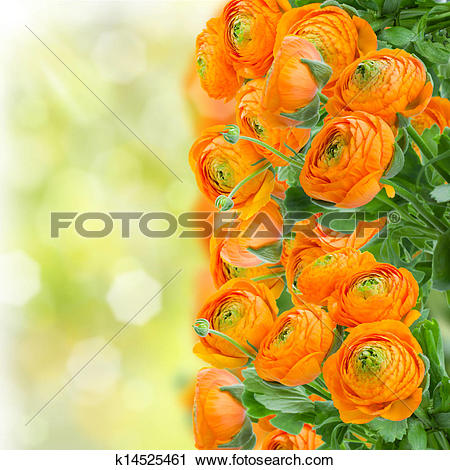 Stock Photography of orange ranunculus flowers k14525461.
