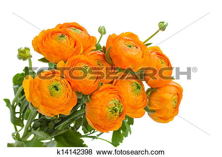 Pictures of bunch of orange ranunculus flowers k14142398.