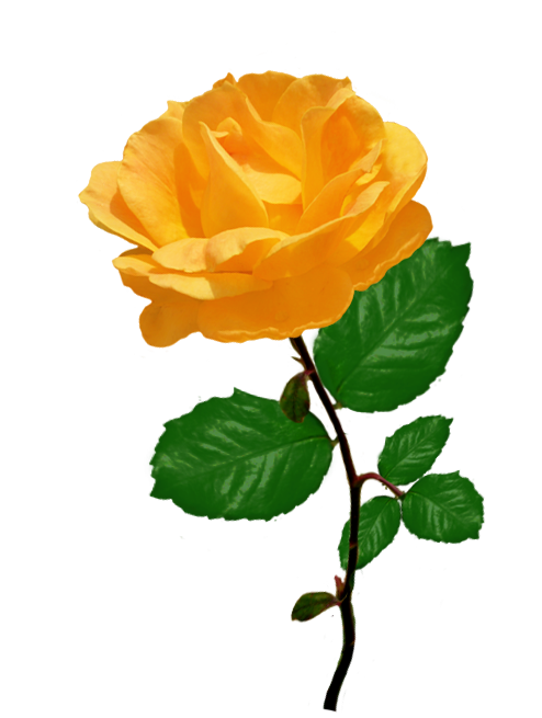 Rose Clipart.