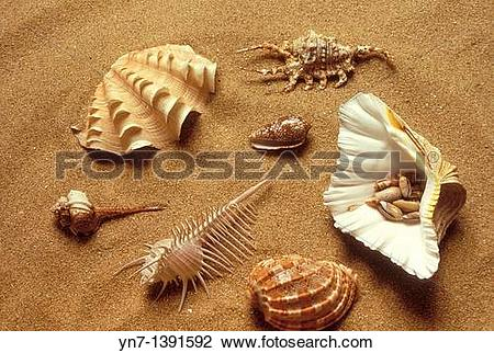Stock Photo of Range of univallve shell types lying on the sand at.