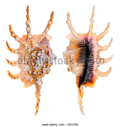 Spider Conch Stock Photos & Spider Conch Stock Images.