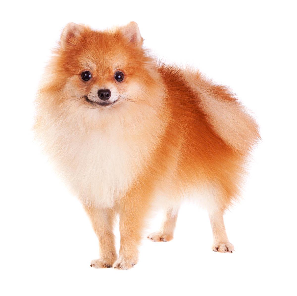 Golden Retriever dog breed information.