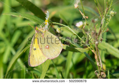 Clouded sulfur butterfly clipart.