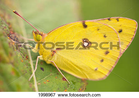 Picture of A Yellow Butterfly In A Leaf; Dundee Ohio United States.
