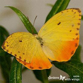 1000+ images about Butterflies/Caterpillars/Moths on Pinterest.