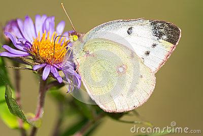 Clouded Sulphur Butterfly On Blanket Flower Stock Photo.
