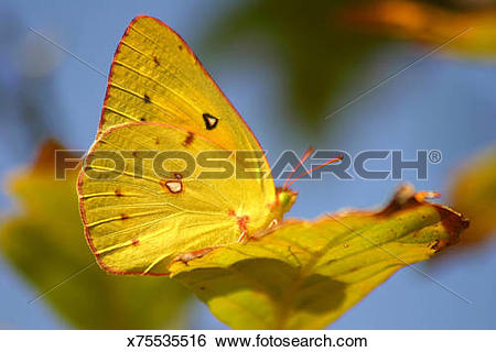 Stock Images of A yellow butterfly blending w/ a yellow leaf.