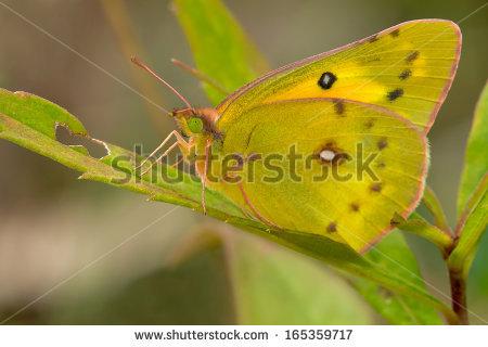 Orange Sulphur Butterfly Stock Photos, Royalty.