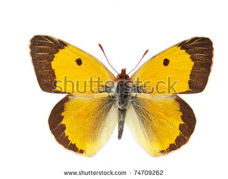 Orange sulphur clipart #17