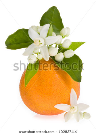Orange Blossom Flower Stock Images, Royalty.