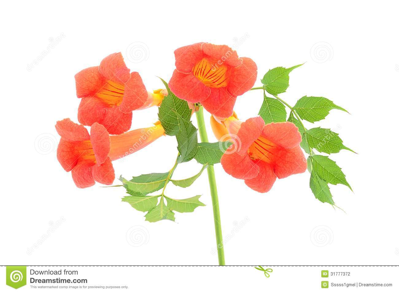 Beautiful Orange Trumpet Flower Isolated On A White Stock.