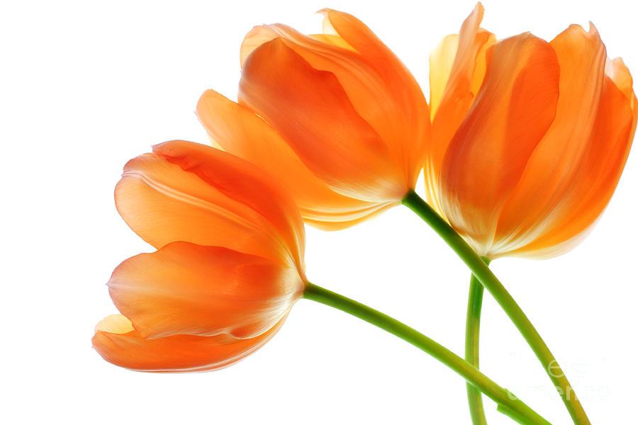Image Of Tulip.