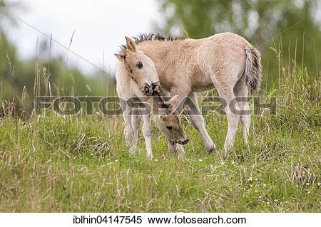 Stock Image of Konik, wild horse, two foals playing, Oranienbaum.