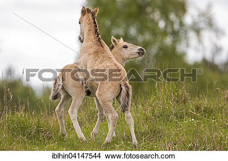 Stock Photo of Konik, wild horse, two foals playing, Oranienbaum.