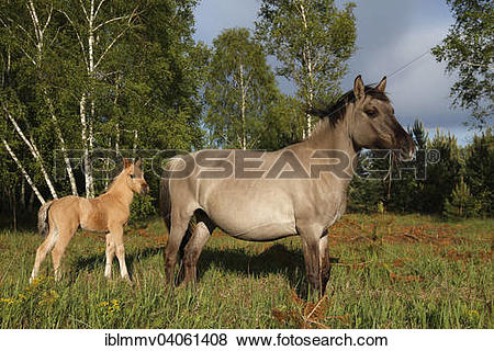 "Pictures of ""Konik Horses, mare and foal, Oranienbaumer Heide."