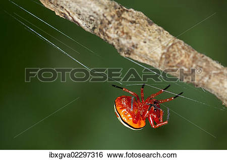 """Stock Images of """"Bolas spider (Encyosaccus sexmaculatus), orb."""