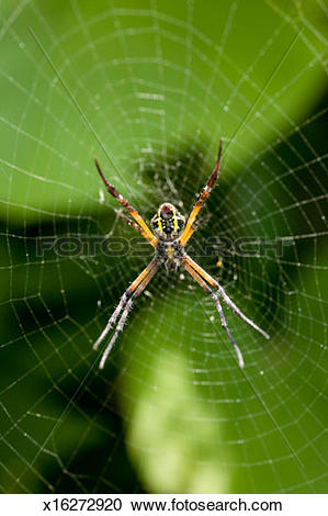 Stock Photography of Orb web spider (Argiope minuta) on web, close.