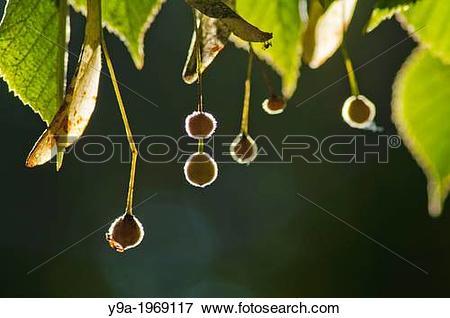 Picture of Tilia platiphyllos fruits, tilleul tree, Orbaneja del.