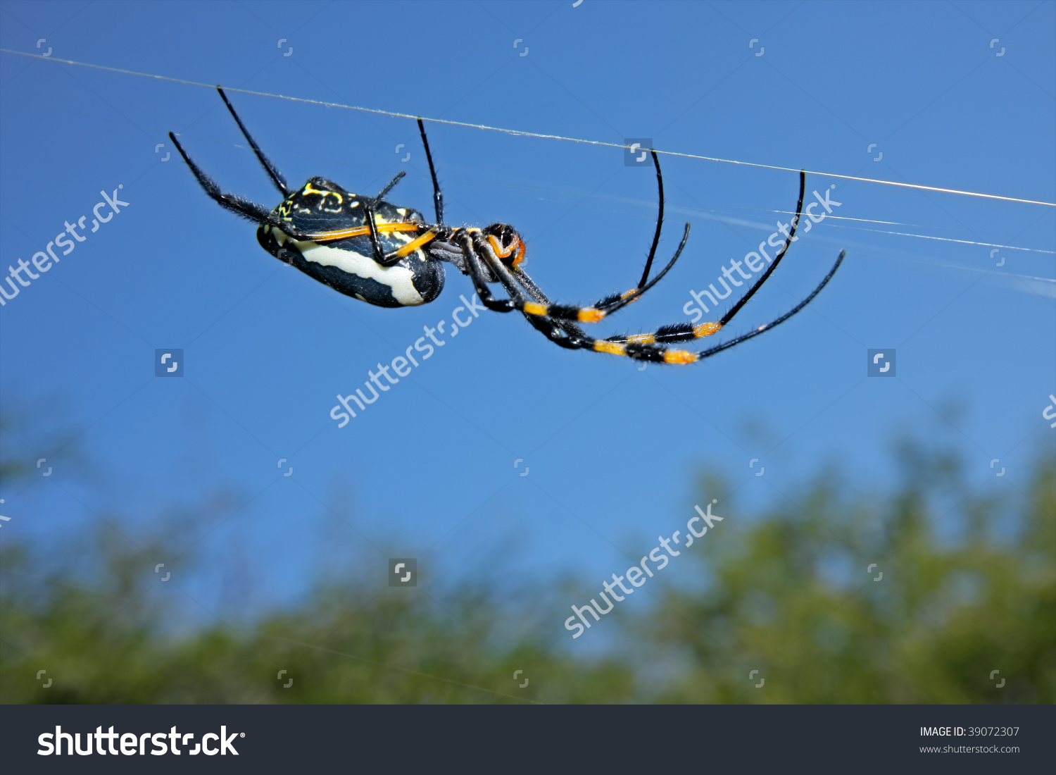 Golden Orb Web Spider (Nephila Senegalensis) Against A Blue Sky.