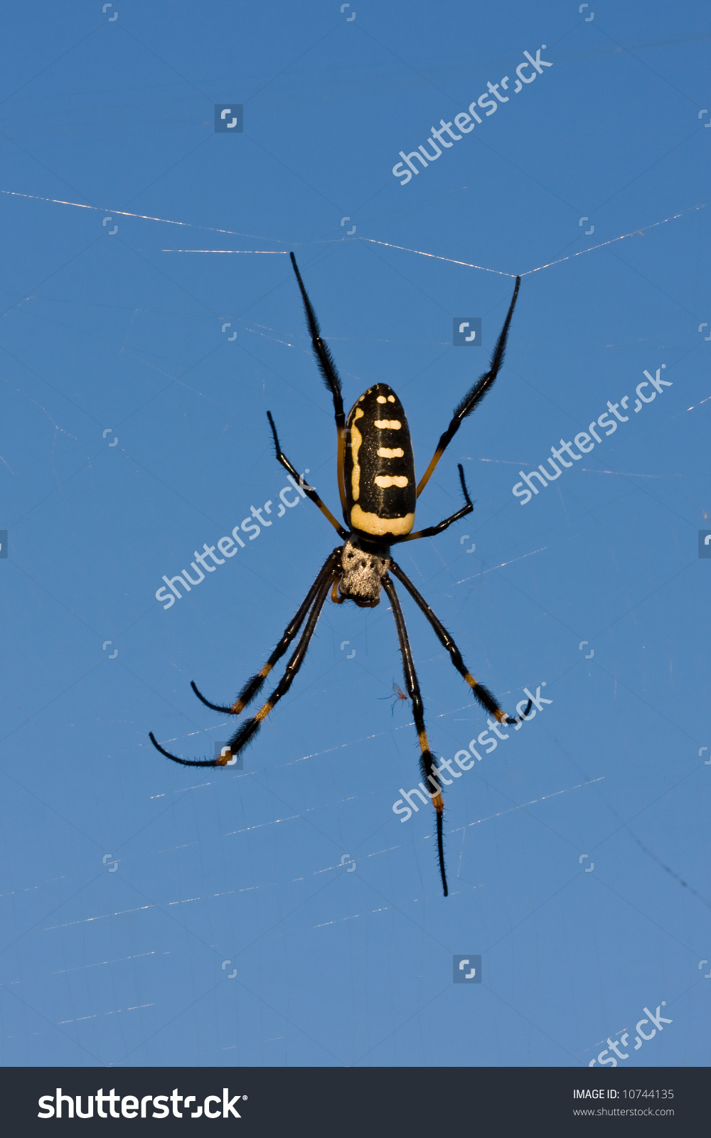 Bandedlegged Golden Orbweb Spider Nephila Senegalensis Stock Photo.