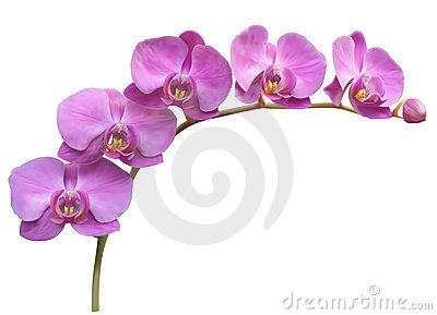 Orchid Stock Illustrations.