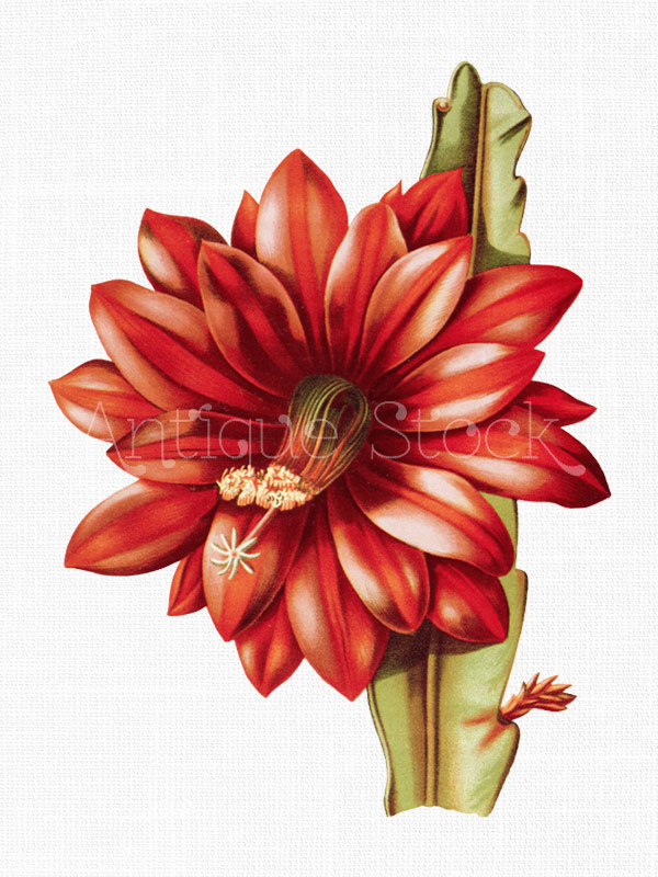 Flower Clipart 'Red Orchid Cactus' Printable Botanical.