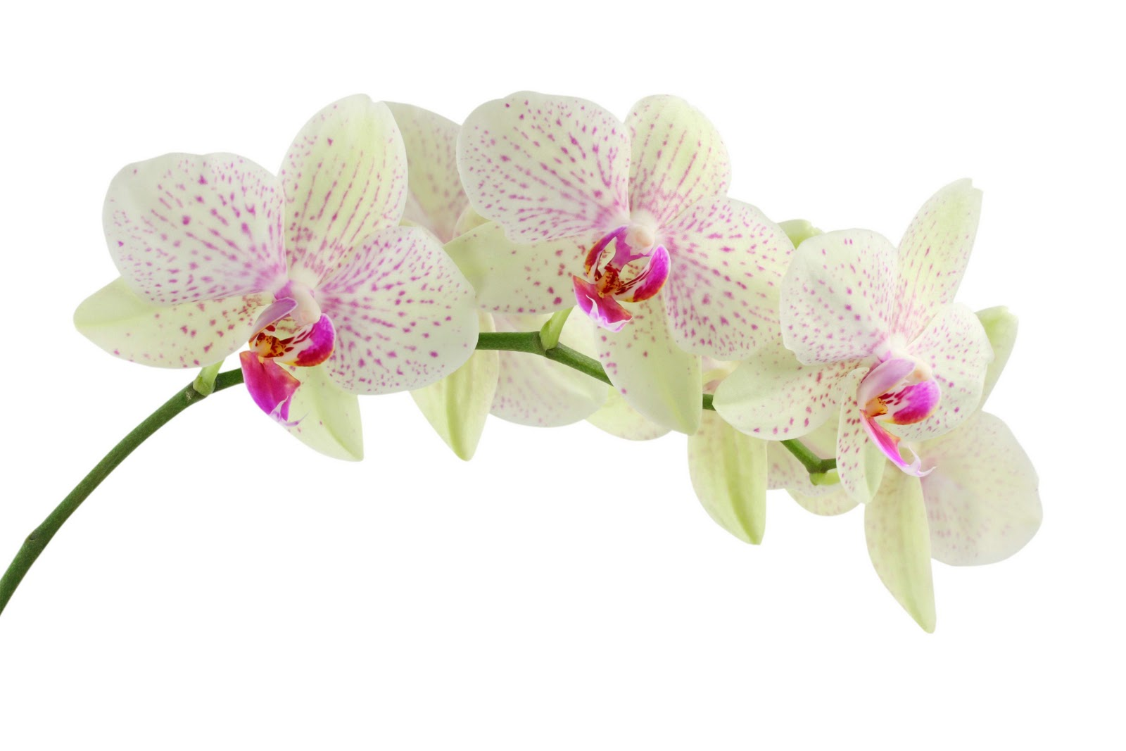 Clipart orchid flower.