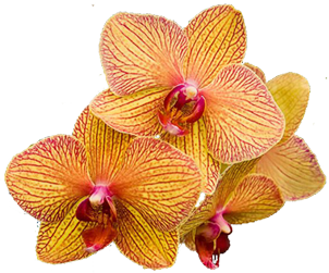 Orchid floral clipart - Clipground