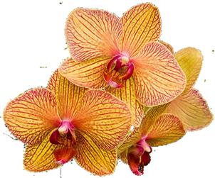 orchid flower clip art #25.