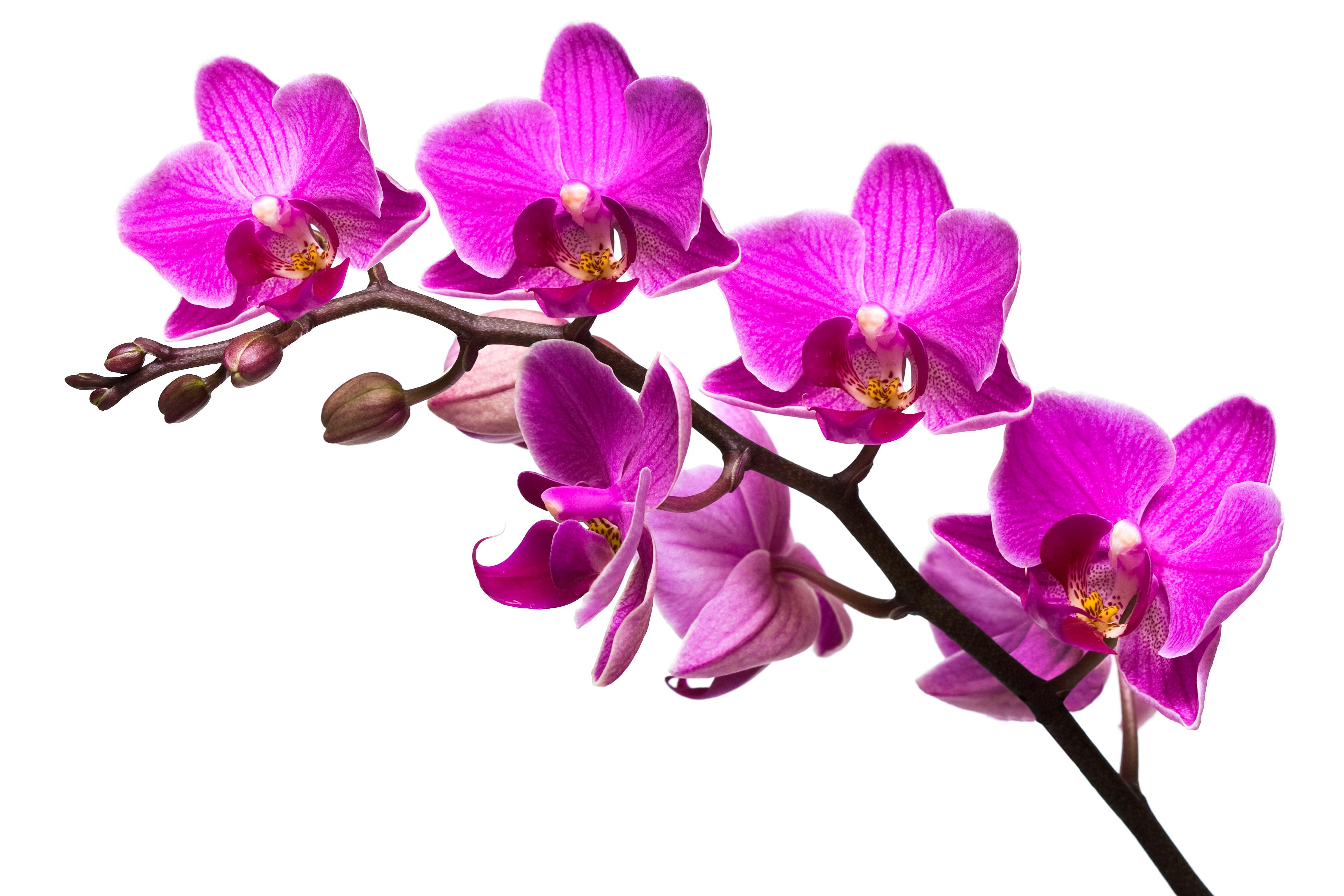Orchid flowers transparent background clipart.
