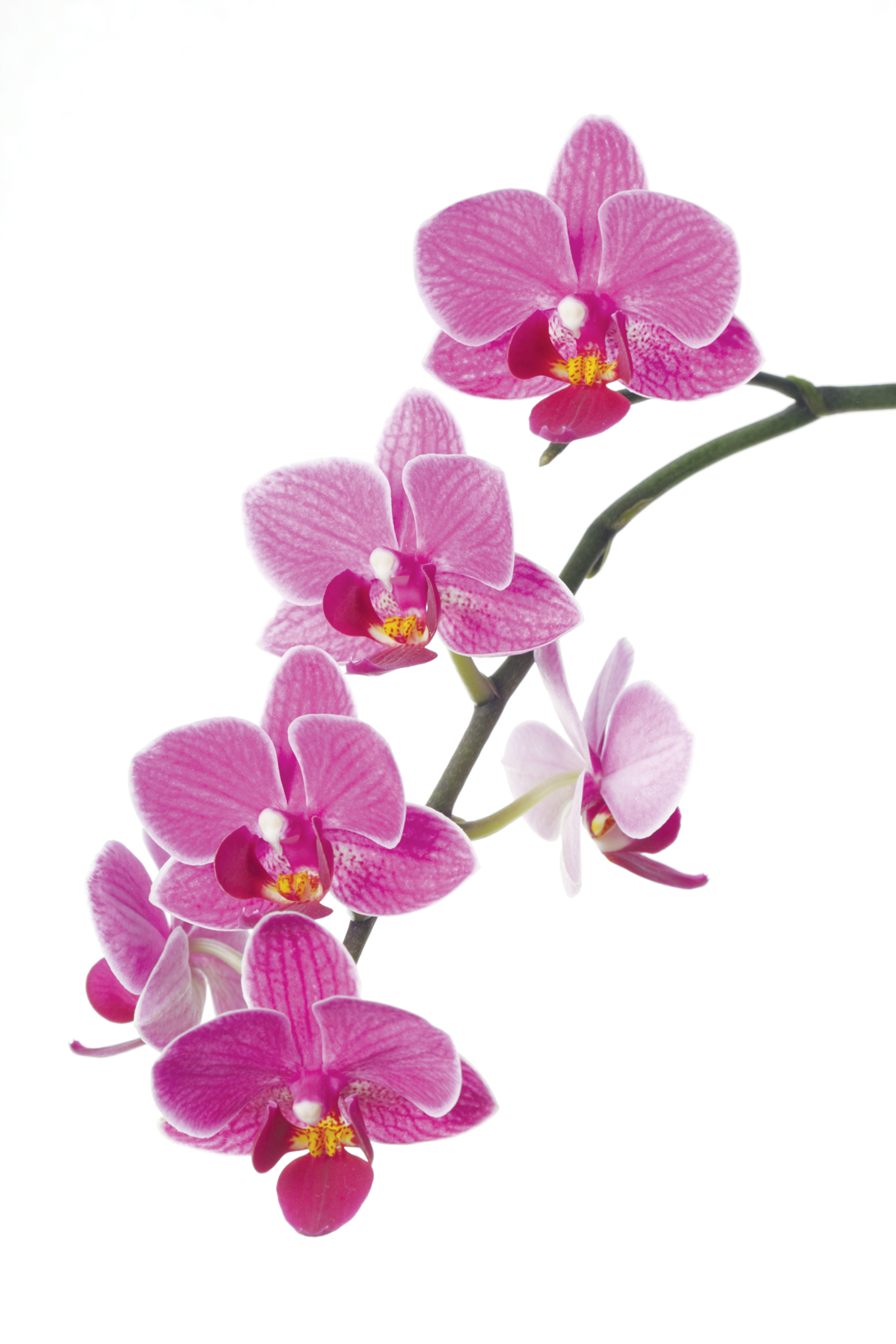 Clipart orchids free.