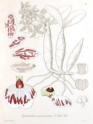 Epidendrum marmoratum.