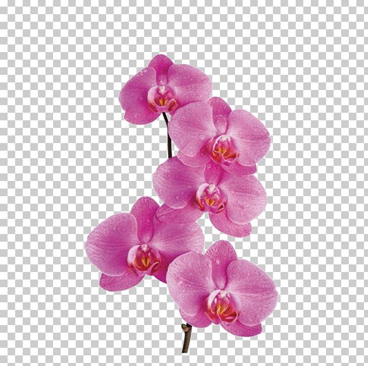 Moth Orchids Flower PNG, Clipart, Clip Art, Cut Flowers.