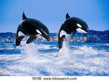 Stock Images of two Orcas jumping / Orcinus orca 78786.