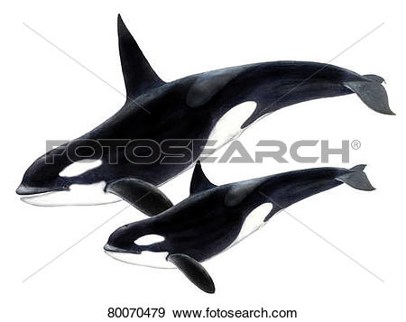 Stock Photograph of DEU, 2008: Orca Whale, Killer Whale (Orcinus.
