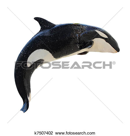 Stock Photo of Leaping KillerWhale, Orcinus Orca k7507402.