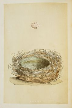 Magpie Nest & Eggs, Reverend Morris 1800s Original Antique Bird.
