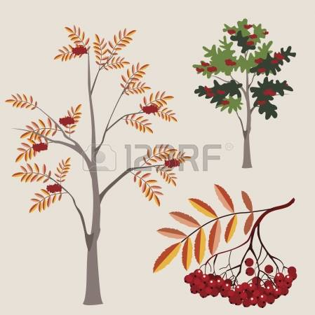 1,199 Ash Berry Stock Vector Illustration And Royalty Free Ash.
