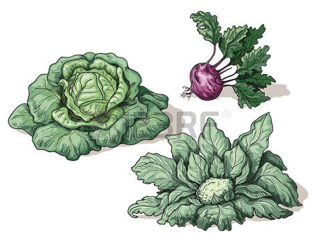 2,653 White Cabbage Stock Vector Illustration And Royalty Free.