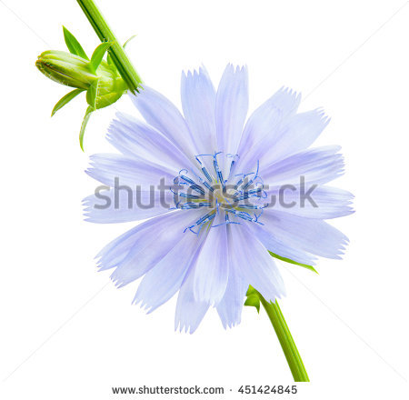 Chicory Stock Photos, Royalty.