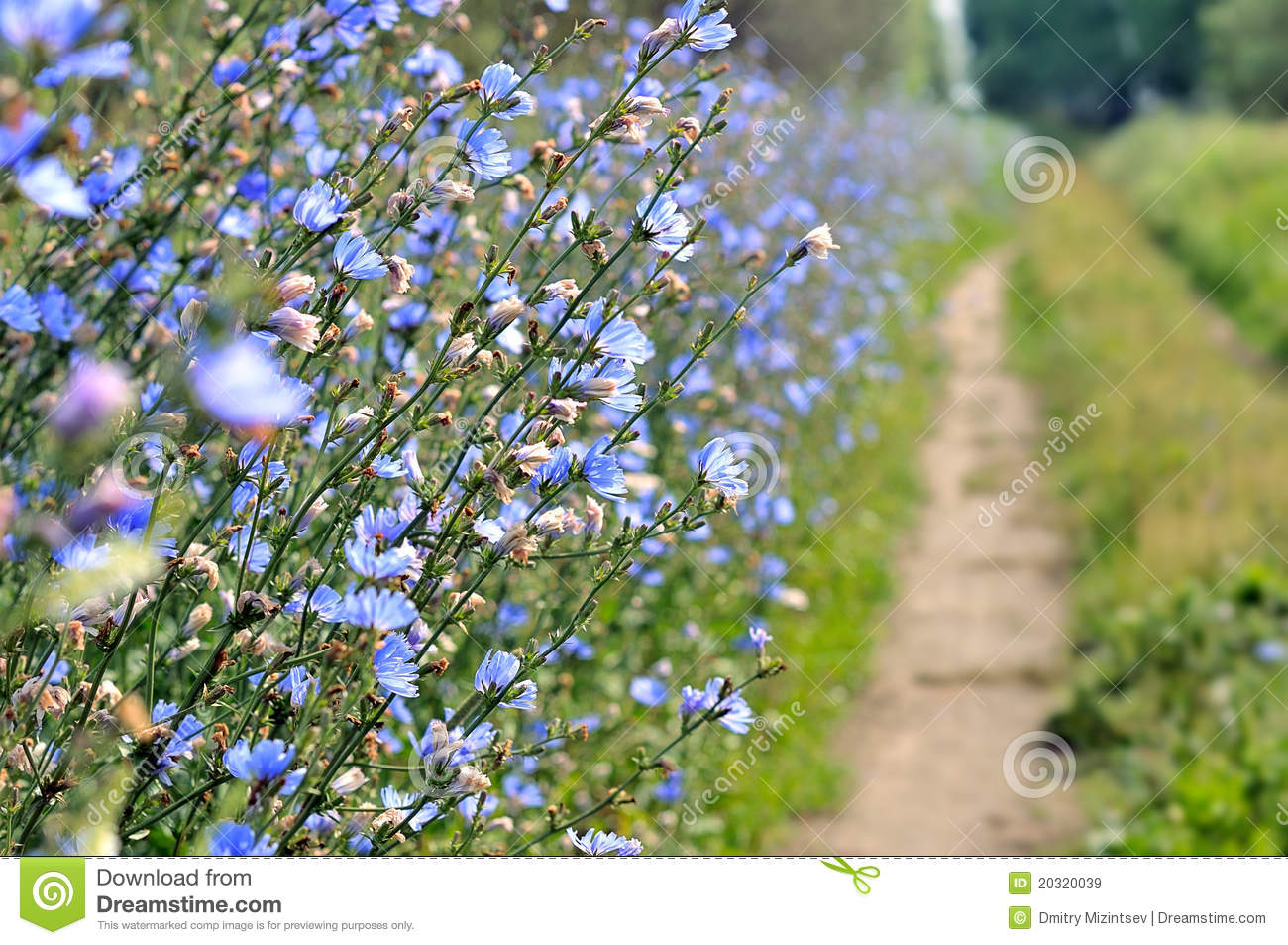 Blue Wild Flowers Chicory Stock Photos, Images, & Pictures.