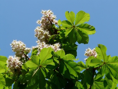 Inflorescence chestnut free stock photos download (292 Free stock.