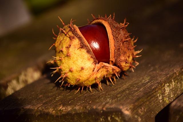 Free photo Chestnut Ordinary Rosskastanie Shiny Red Fruit.