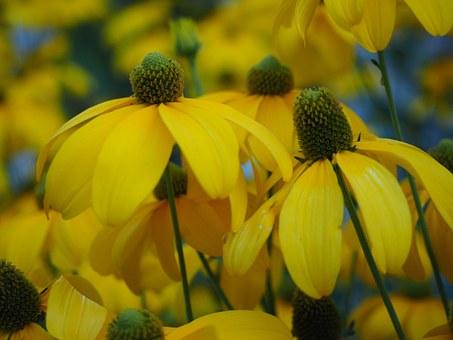 Free photo Daisy Summer Rudbeckia Yellow Black.
