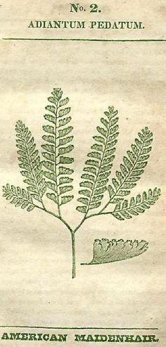 Royal Fern (Osmunda regalis) Part Sun/Soid moisture= Average/wet.