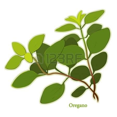1,174 Oregano Stock Vector Illustration And Royalty Free Oregano.