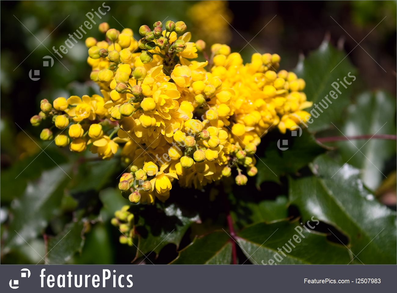 Picture Of Grape Holly With Yellow Blooms.