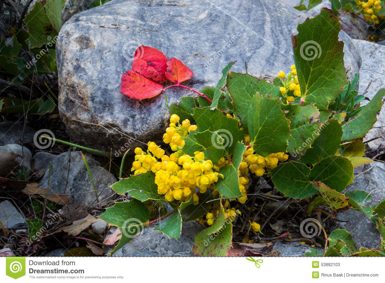 Oregon Grape Holly Stock Photo.